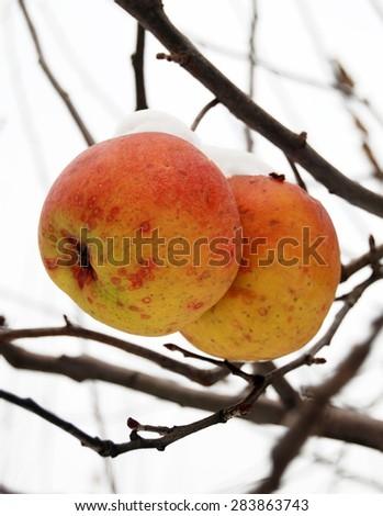 apples in winter - stock photo