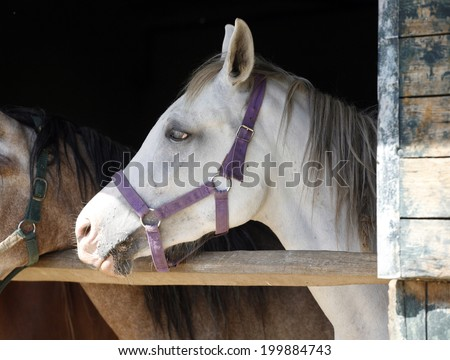 Arabian horse stallion portrait at the corral door Beautiful horse head-shot. Close-up of youngster arabian horse in stable - stock photo