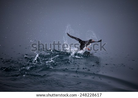 Arctic bird taking off - stock photo