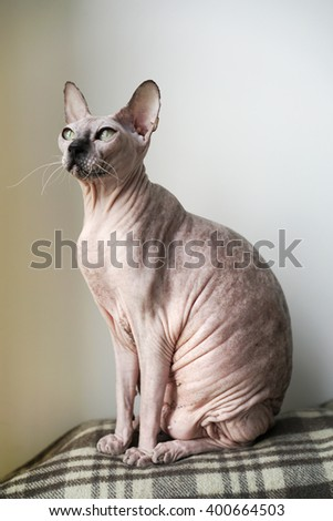 ?at breed Don Sphynx - stock photo