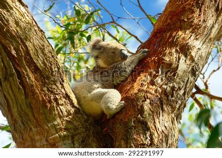 Australia. Beautiful Koala.  National Park - stock photo