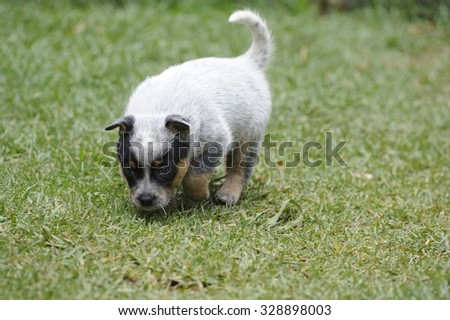 Australian Cattle Dogs, aka Blue Heelers. A breed much admired for stamina, intelligence, loyalty. A cross between Dingo and Smithfield herder.  - stock photo