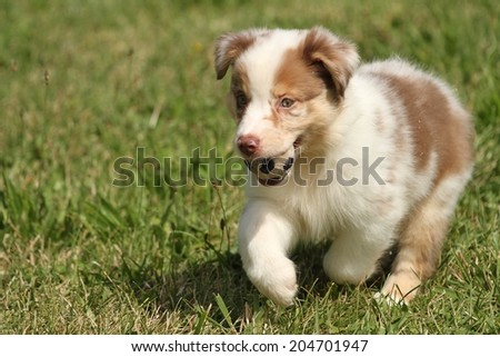 Australian Puppy running with a ball  - stock photo