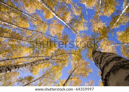 Autumn landscape forest yellow aspen trees birches - stock photo