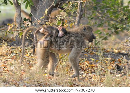 Baboon mother & baby at Xakanxa area of Okavango Delta in Botswana, Africa - stock photo