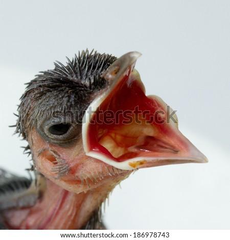 Baby bird  isolated on white  background - stock photo