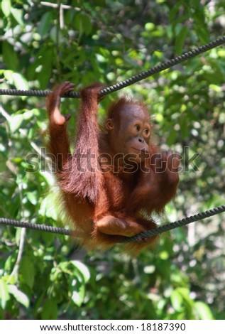 baby orangutan, in sarawak ( borneo ) - stock photo