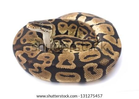 ball python isolated on white background - stock photo