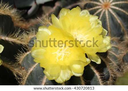 """""""Balloon Cactus"""" (or Green Ball Cactus, Blue Ball Cactus) with blooming yellow orange flowers in St. Gallen, Switzerland. Notocactus Magnificus (or Parodia Magnifica F. H. Brandt) is native to Brazil. - stock photo"""