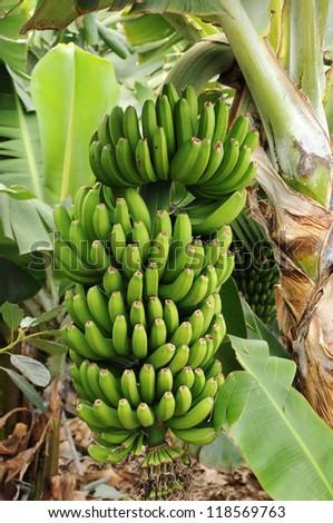 Banana plantation  - bunch of ripening bananas on tree, Canary islands - stock photo