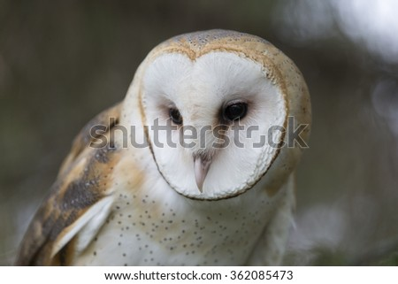 Barn Owl in tree - stock photo
