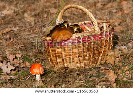 basket of mushrooms in forest and fly agaric - stock photo