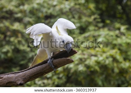 Beautiful and lovely gesture of cockatoo. - stock photo
