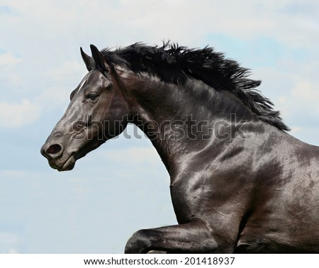 beautiful black stallion horse running in a corral: isolated  - stock photo