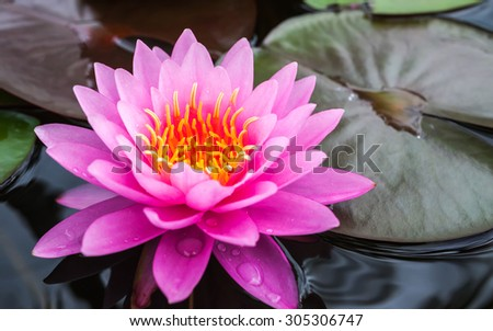 beautiful blooming waterlily, lotus flower in the garden. - stock photo
