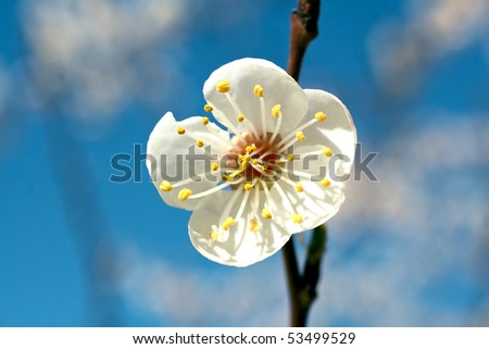 beautiful cherry tree on blue sky - stock photo