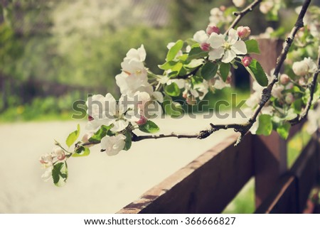 beautiful flowering apple trees.  background with blooming flowers in spring day. selective focus .  toning vintage style - stock photo