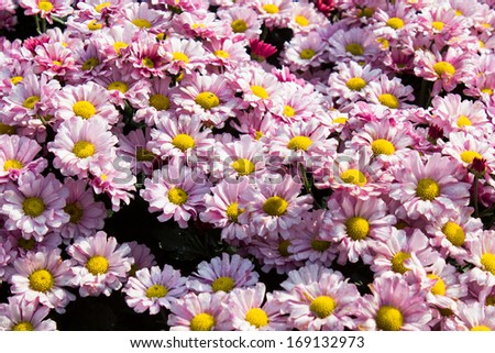 Beautiful flowers of garden - stock photo