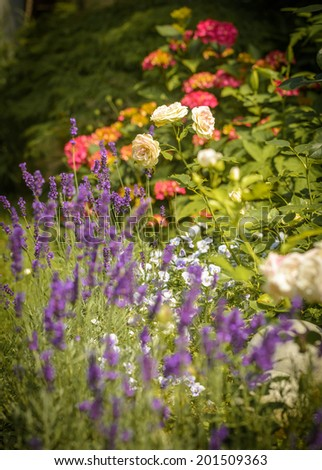 Beautiful garden with blooming roses and lavendel in foreground. - stock photo