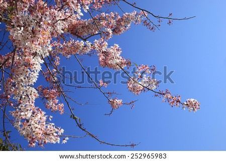 Beautiful pink cherry blossom flowers blooming onder blue sky. - stock photo