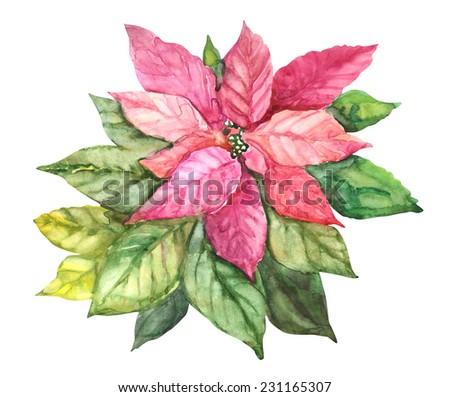 Beautiful red Poinsettia plant. Watercolor illustration.  - stock photo