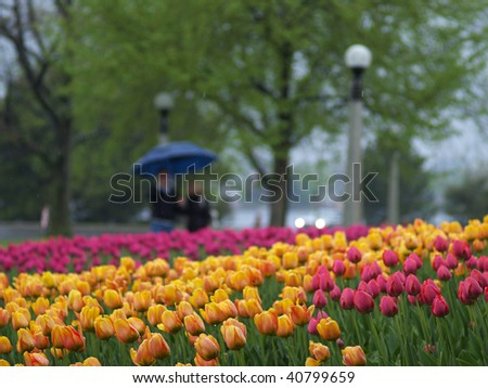 Beautiful tulips in the spring park - stock photo