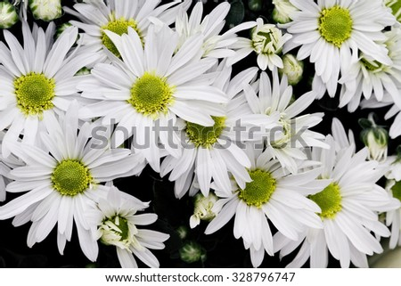 Beautiful white Chrysanthemums with shallow depth of field. - stock photo