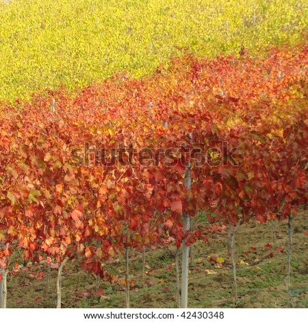 beauty of vineyards in autumnal colors - stock photo