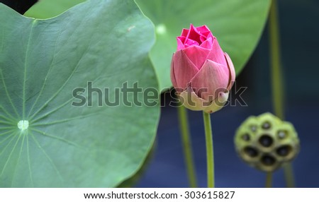 Beauty pink lotus blooming in the garden, Select focus - stock photo