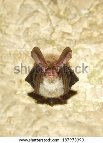 Bechstein's bat (Myotis bechsteinii)  - stock photo