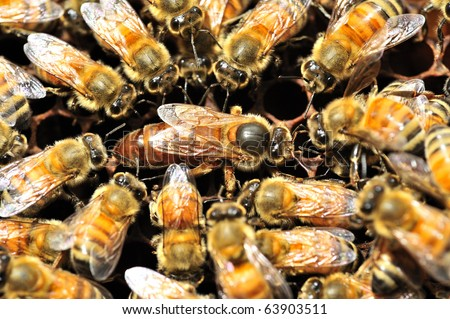 Bees inside a beehive with the queen bee in the middle - stock photo