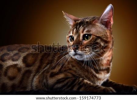 bengalensis cat - stock photo