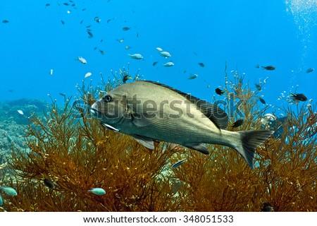 Big sweetlips fish on the coral reef  - stock photo