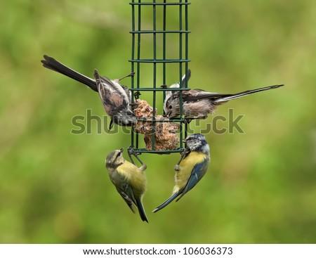 Birds feeding on a bird feeder - stock photo