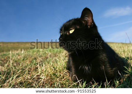 Black cat at sunset in the grass. 	Black domestic cat on the meadow is sneaking to hunt for prey - stock photo