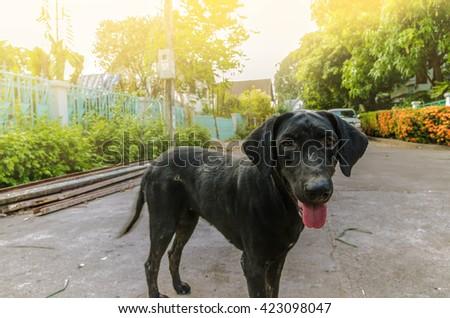 Black Labrador Retriever Dog  - stock photo