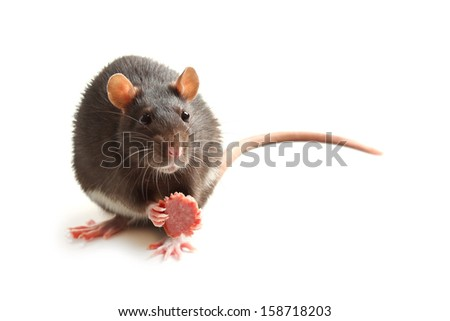 Black rat eating sausage on white 	 - stock photo