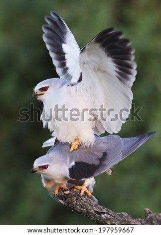 Black-shouldered Kite  Elanus caeruleus - stock photo