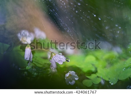 Blooming Oxalis in the woods in the rain and rain drops. - stock photo
