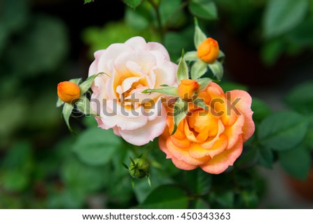 blooming rose bush the garden. - stock photo