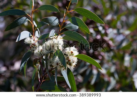 blossoming soap mallee  plant  in spring - stock photo