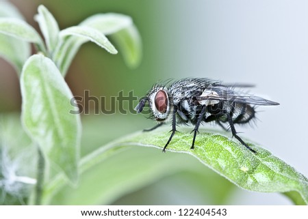 blue blow-fly in the leaf - stock photo