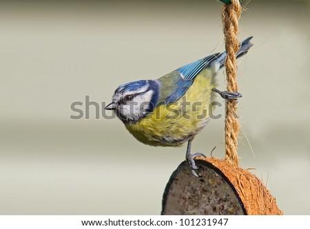 Blue Tit (Cyanistes caeruleus) - stock photo