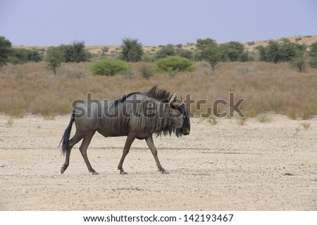 Blue Wildebeest (Connochaetes taurinus), aka Brindled Gnu in the Kalahari Desert, South Africa. - stock photo