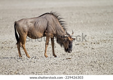 Blue wildebeest standing in dry salt-pan; Connochaetes taurinus - stock photo