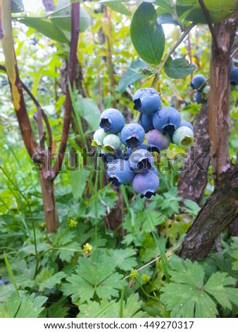 Blueberries are one of nature's great treasures. (North America /USA /state Washington/ Pacific Northwest) - stock photo