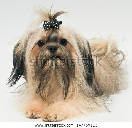 Bolonka zwetna in studio on a neutral background - stock photo