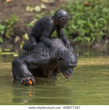 Bonobo standing on her legs in water with a cub on a back and drink water. Green natural background.  The Bonobo ( Pan paniscus). Democratic Republic of Congo. Africa  - stock photo