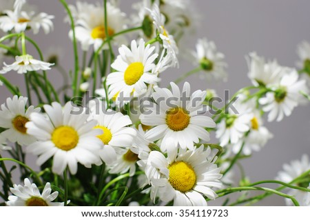 bouquet of big white camomilies, local  focus, shallow DOF - stock photo