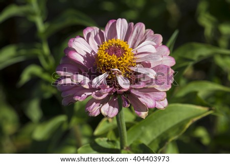 Bright  enchanting pale pink flowers of Zinnia  a genus of annual  plants of  sunflower tribe within the daisy family brighten up the garden in the heat of the summer months with long lasting blooms. - stock photo